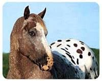 appaloosa horse gifts by yuckles