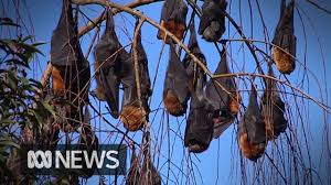 Bats fall from trees amid extreme heatwave in tropical Queensland | ABC  News - YouTube