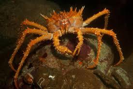 Spiny king crab   Animals