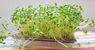 broccoli sprouts nutrition and benefits