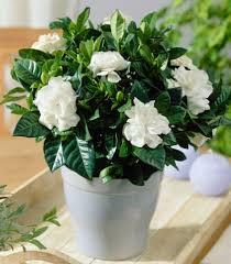 dwarf radicans gardenia shrub