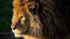 hd wallpaper real lion head picture