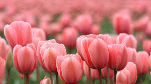 tulip wallpapers and backgrounds free