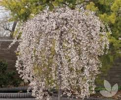 snow mountains weeping cherry trees
