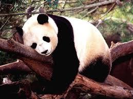 pictures of panda panda bear wallpaper