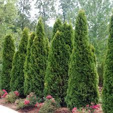 Screening Plants For Arkansas Landscapes The Good Earth Garden Center
