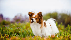 Papillon - All About Dogs