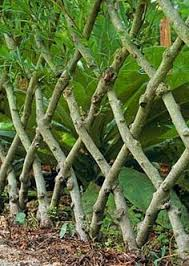 40 Living Willow Fences Ideas Willow Fence Living Willow Living Willow Fence