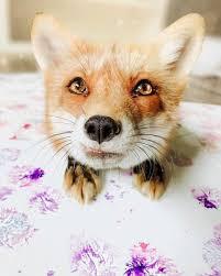 500+ Foxes.... ideas in 2020 | animals wild, animals beautiful, fox