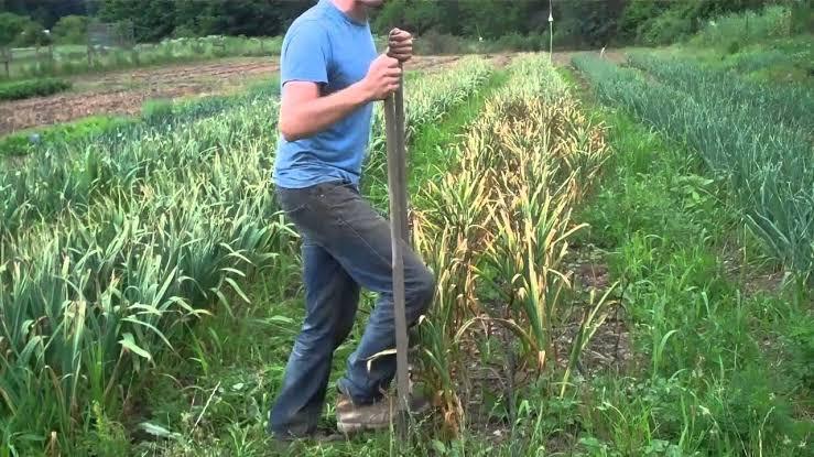 """Image result for harvesting garlic"""""""