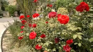 شجرة ورد جورى بلدى تخرج حوالى 50 زهرة وذلك بسبب التقليم وازالة
