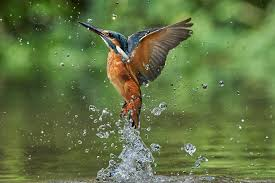 kingfisher birds kingfishers water