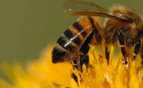 jadilah seperti lebah bukan lalat