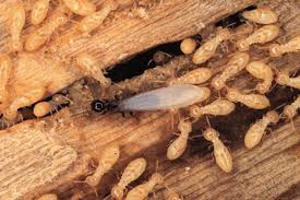 View Flying Termites In My House  Pics