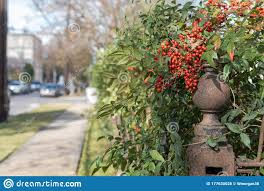 Nandina Plant With Berries On Heavy Steel Fence Post Stock Photo Image Of Accent Colorful 177630026