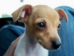 gallery toy fox terrier
