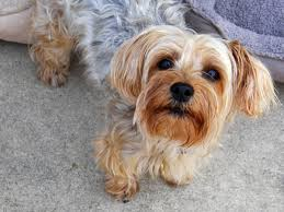 a guide to yorkie grooming hairstyles