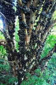 شجرة العنب البرازيلي تثمر من جذع بدون... - فوائد الفاكهة والخضروات ...