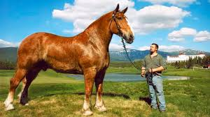 the biggest horses in the world you