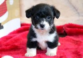 corgipoo puppies puppy