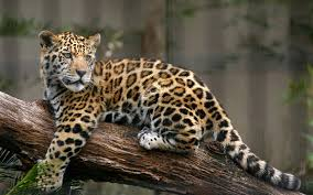 Jaguar, Panthera onca, Big cats, Leopards, Animals