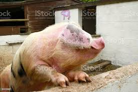 Spotted Poland China Pig Stock Photo - Download Image Now - iStock