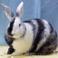 Harlequin Rabbits   Rabbits for Sale!!