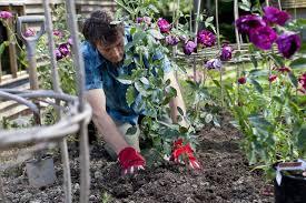 preparing garden soil for growing roses