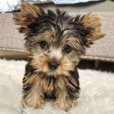 teacup puppies puppyspot
