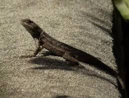 What Is The Best Way To Care For A Western Fence Lizard Quora