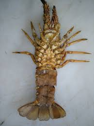 Unusual case: Lobster moult with eggs ...