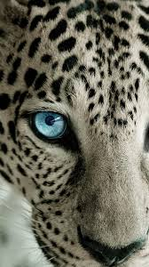 snow leopard blue eye android wallpaper
