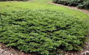juniper calgary carpet dutch growers