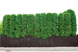 Use Evergreen Shrubs For A Natural Privacy Fence Millcreek Gardens