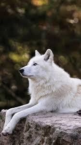white wolf rest stay hazy 750x1334