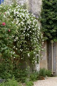 Everything You Need To Know About Rambler Roses Gardenista