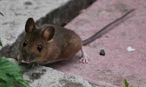 Rat Proof Garden How To Get Rid Of Rodents In Garden Spaces Epic Gardening