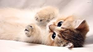 kitten desktop wallpapers top free
