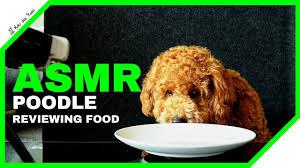 asmr dog poodle eating fruits moki