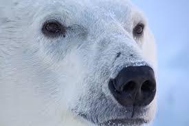 The Problem Has A Solution Polar Bears International