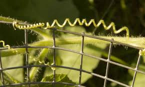 Growing Cucumbers Vertically Tips For Success Epic Gardening