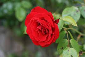 ملف Red Rosa Damascena ورد جوري Jpg ويكيبيديا