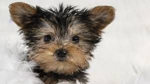 teacup yorkie in rochester ny