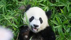 Giant Panda 'Bei Bei' Born in National ...