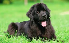 How Much Do Newfoundlands Eat? - Pet ...