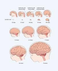 Resultado de imagen de El cerebro contiene lípidos