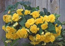 nia hanging basket yellow