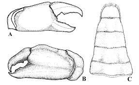 Tumidotheres margarita (Smith, 1870), from Bahía Concepción, Baja... |  Download Scientific Diagram