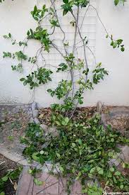 Pruning A Star Jasmine Vine When And How To Do It