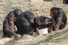 人類的基因突變率慢於其他類人猿- 實驗動物_中國實驗動物信息網